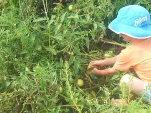Josh harvesting tomatoes